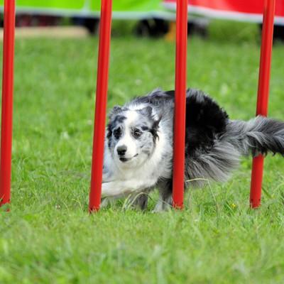 Paletti Agility Slalom Dimensione 3,5 x 120 cm per cani