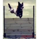 Salto chiuso per Obedience per cani